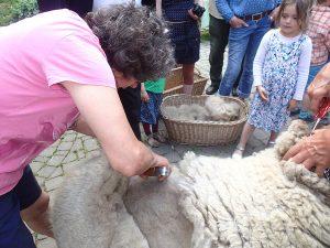 Wolle ernten beim Schafschurfest