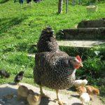 Hühnerseminar