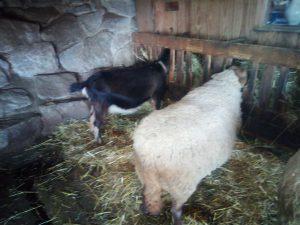 Momo, die gute Milchziege und Blümchen, die Coburger Füchsin