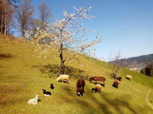 Frühlingsfriede unterm blühenden Kirschbaum